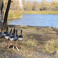 Гуси и пастух...Вот такие гуси гуляют у нас у озера в спальном районе! :: Валентина Данилова