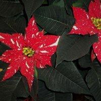 Эуфорбия или рождествнская звезда :: kuta75 оля оля