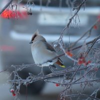 Свиристелька в морозный день :: Ната Волга