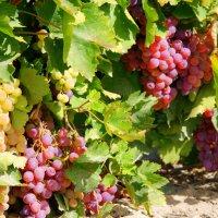 растет вкусный виноград... :: Susanna Sarkisian