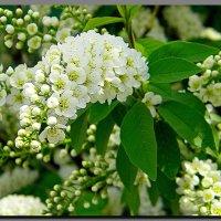 черёмуха.  весна. :: Ivana