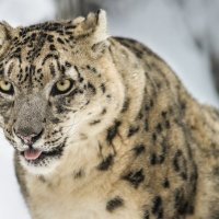 Снежный барс :: cfysx