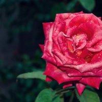Алый бархат розы. :: Елена Данько