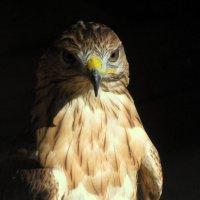 Летающий хищник... :: Владимир Драгунский