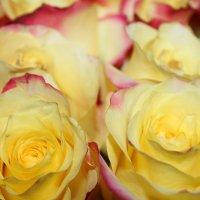 Любимые желтые розы. :: Елена Тимонова