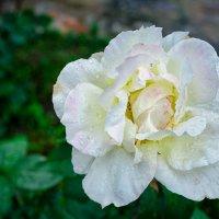 Розы белой кружева.. :: Елена Данько