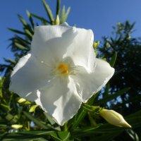 Цветок олеандра :: Наиля