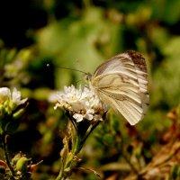 белая на белом цветке :: Александр Прокудин