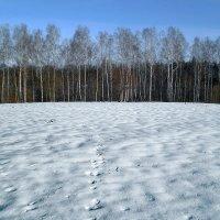 Снег и березы :: Сергей Тарабара