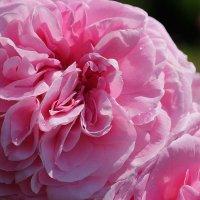 Розовая принцесса :: Swetlana V