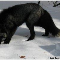 Чернобурая лисица :: vovafritz
