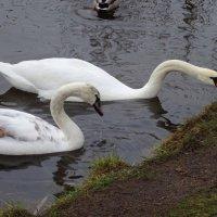 Лебеди в поисках пищи :: Маргарита Батырева