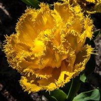 Жёлтый тюльпан :: Светлана Щербакова
