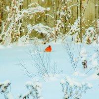 снегирь. :: petyxov петухов