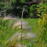 Гривастая трава :: Жанна Литуева