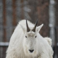 Снежная коза :: cfysx