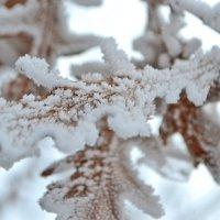 Листья дубы в белой  карамели :: Nina Streapan