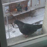 Любопытный голубь :: Дмитрий