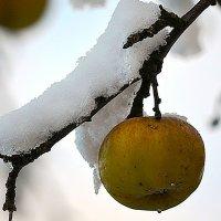 Зимние яблоки :: Татьяна
