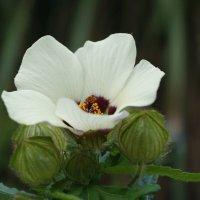 Hibiscus cannabinus :: Natalia Harries