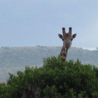 Жираф большой ему видней :: Сергей