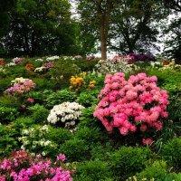Цветут рододендроны :: Nina Yudicheva