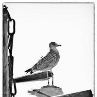 Чайка :: Михаил Молодкин