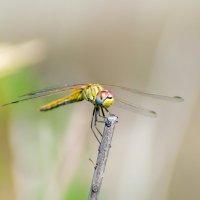 Yellow dragonfly :: Владимир Лазарев