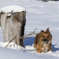 Приятно побегать по снегу :: Игорь Сикорский