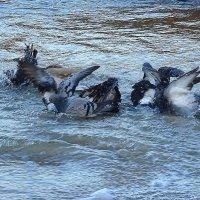 Голуби на море - купаются :: Маргарита Батырева