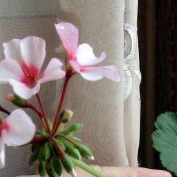 Декабрь , цветёт герань ! :: Мила Бовкун