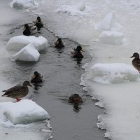 Уточки остались зимовать.. :: Наталья Воронцова
