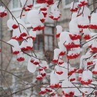 Зимняя рябинка :: Наталья Воронцова