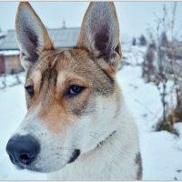 Любопытный пес из села Нёнокса. :: Марина Никулина