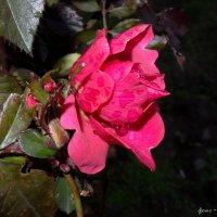 Роза в декабре :: ~ Елена М ~