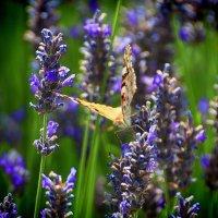 Бабочка :: Юрий Петров