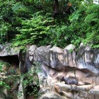 Таиланд. Национальный зоопарк Бангкока. Горные козы. :: Лариса (Phinikia) Двойникова