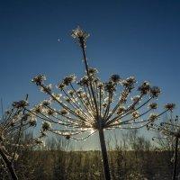 Зимний цветок :: Дмитрий Царапкин