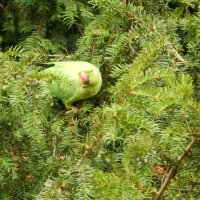 Попугай...на елке.. :: Ольга Васильева