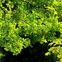 Листва, просвеченная солнцем :: Светлана