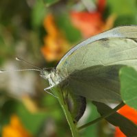 Бабочка откладывает личинки :: Андрей Кротов