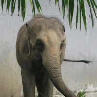Национальный зоопарк Бангкока. Полугодовалый слонёнок. :: Лариса (Phinikia) Двойникова