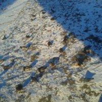 Утки на снегу :: Сапсан