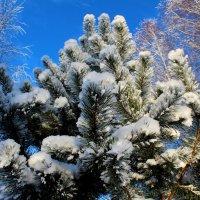 Сосна и снег :: Катя Бокова