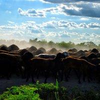 Одинокий пастух .. отара :: santamoroz