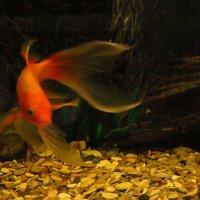 Золотая рыбка только хвостиком махнула :: Андрей Лукьянов