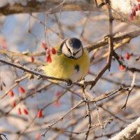 лазоревка и барбарис :: linnud