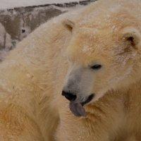 Медвежонок :: Светлана Винокурова