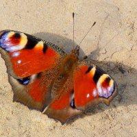 павлиний глаз на песке :: Александр Прокудин