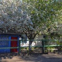 яблоня в цвету :: Сергей Резниченко